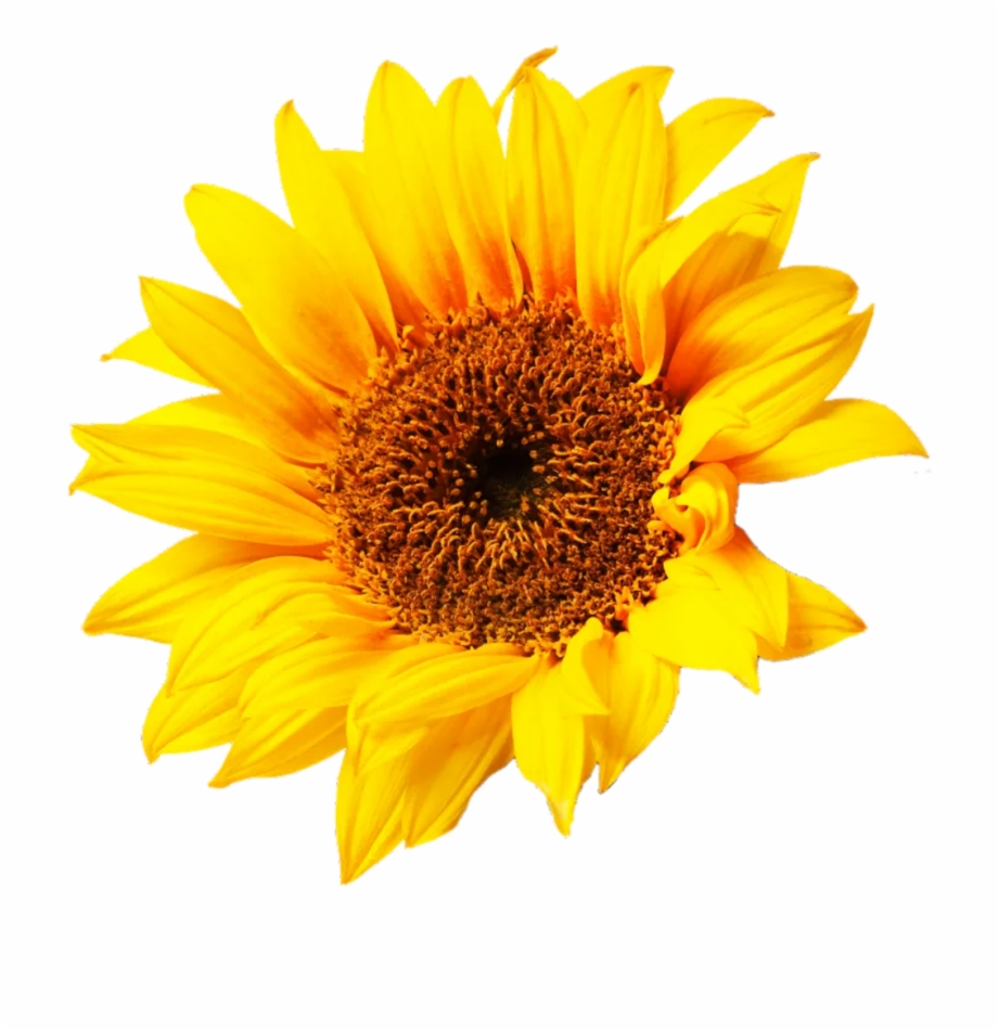 Sunflower png aesthetic.