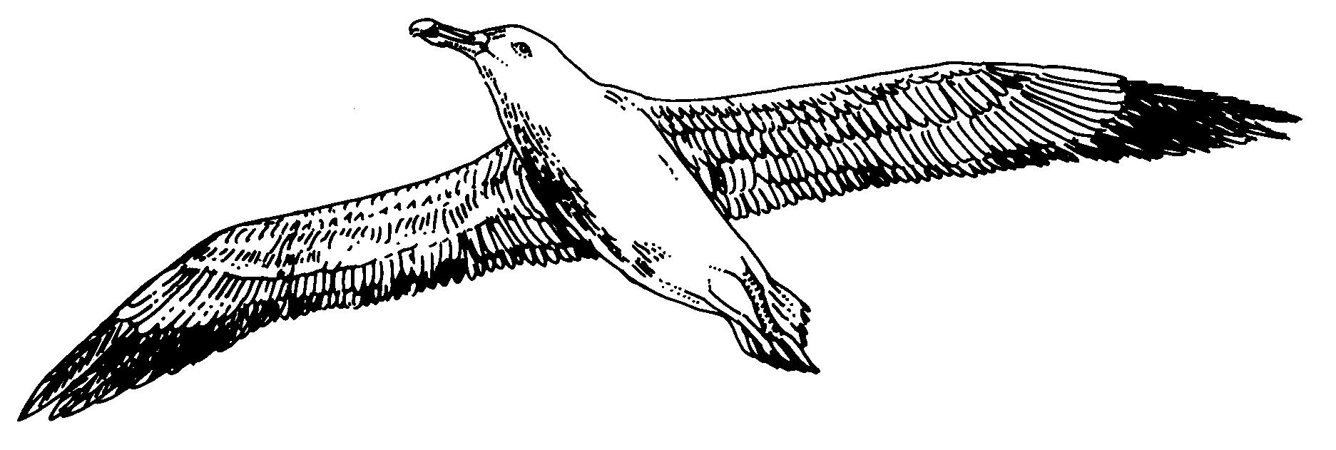 Albatross art drawing.