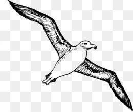 Albatross bird png.