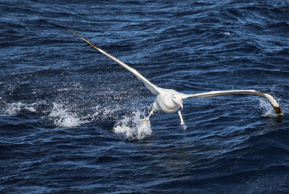 Wandering alabatross antarctica.