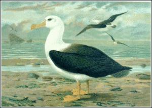 Blackfooted albatross clipart.