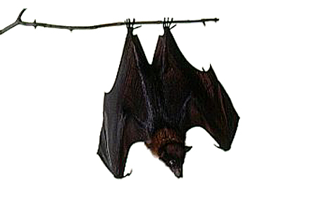 Sleeping bat clipart.