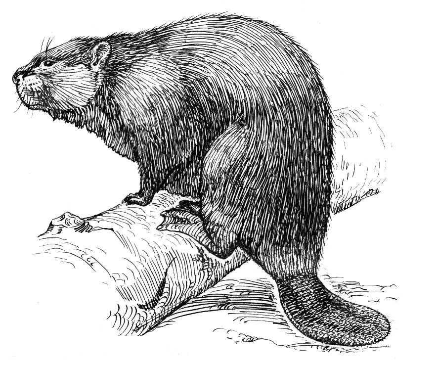 Beaver clipart castor. Sketch in drawing animals