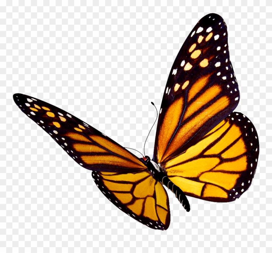 Transparent background monarch.