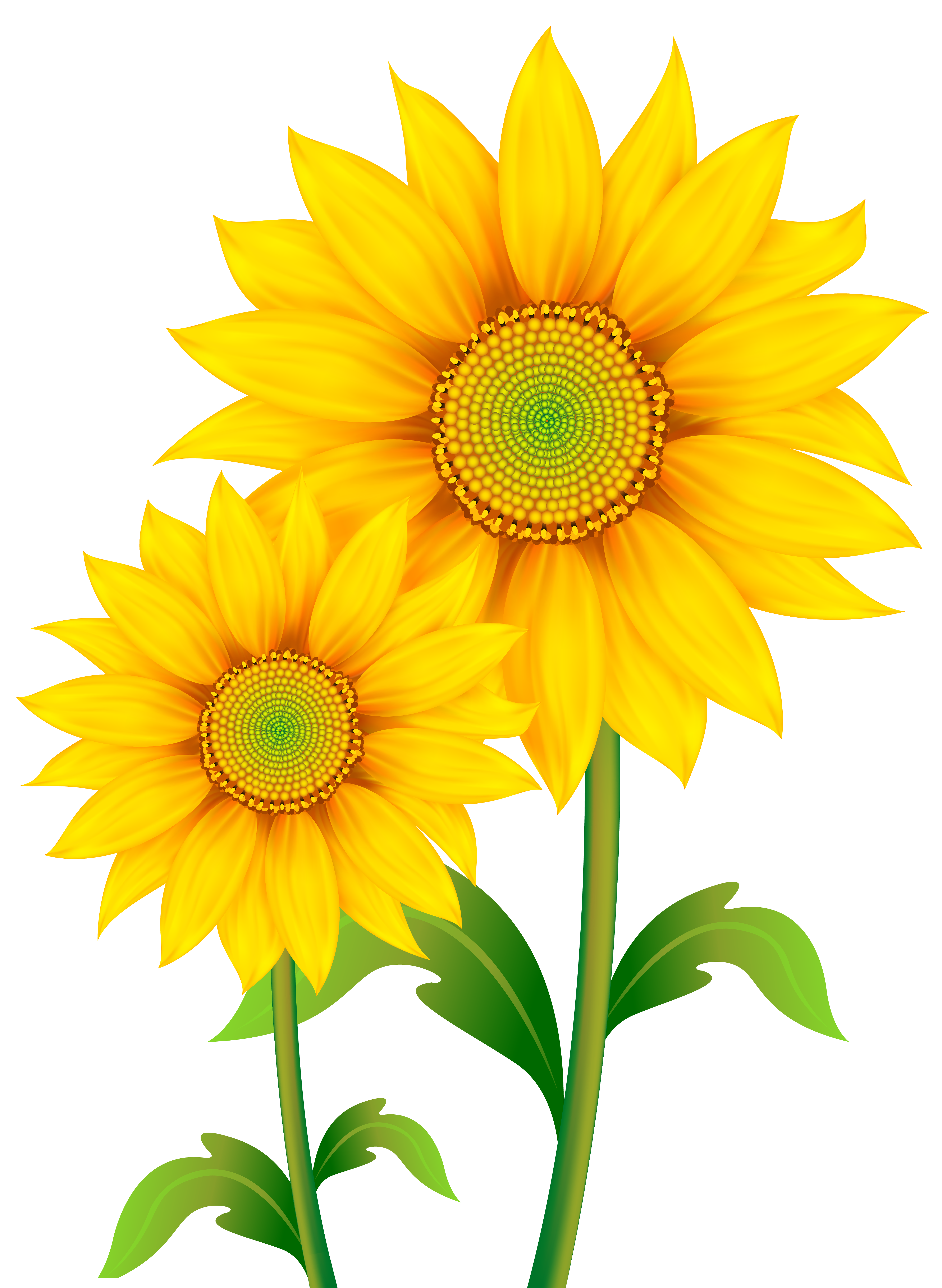 Transparent sunflowers clipart.
