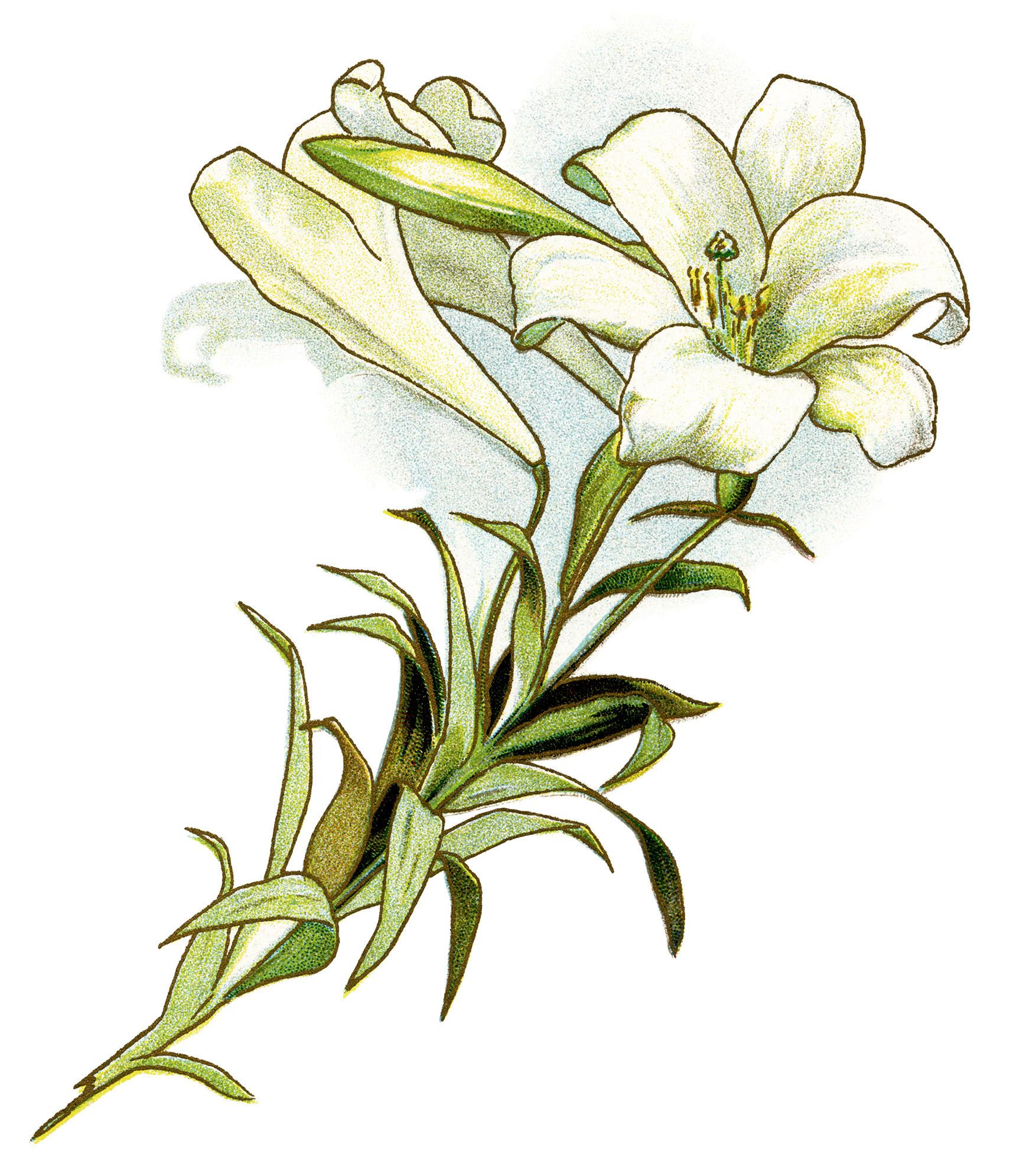 Free Calla Lily Clipart, Download Free Clip Art, Free Clip