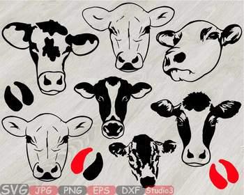 Heifer cows head.