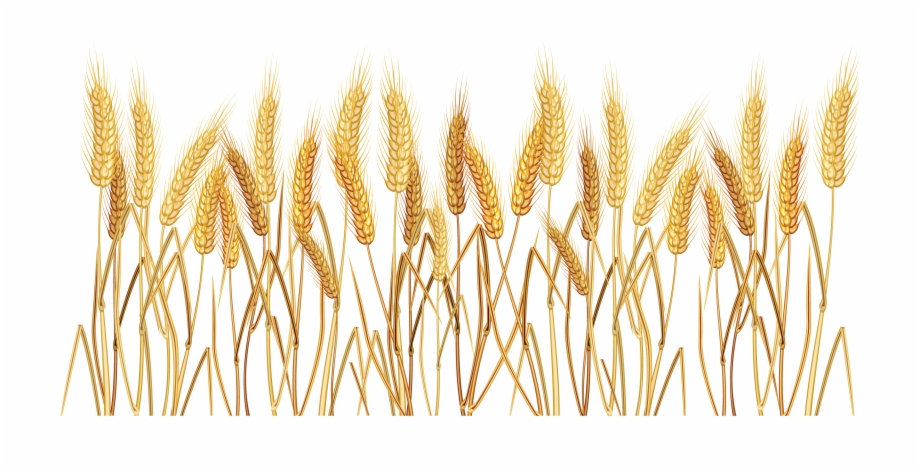 Wheat grass png.