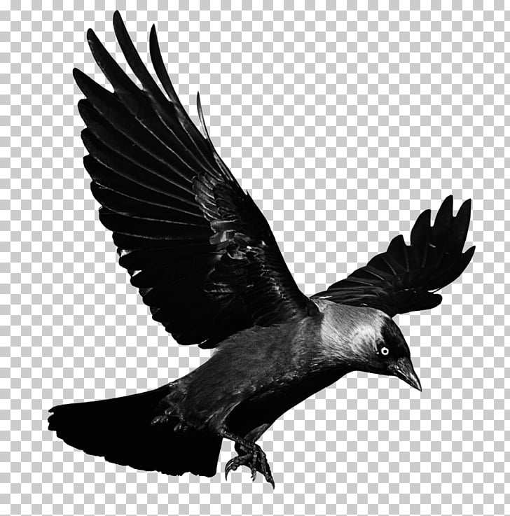 Crow clipart flying.