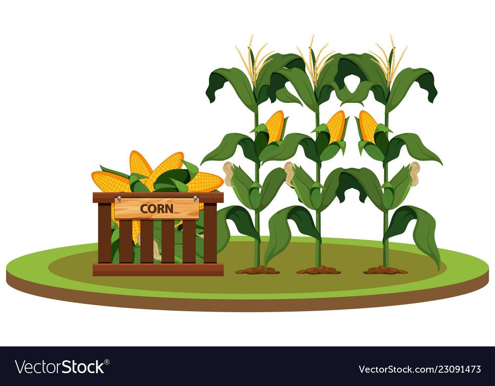 Isolated organic corn.