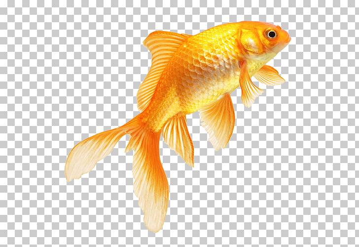 Goldfish real fish.