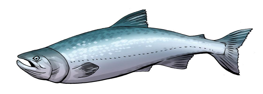 Cute salmon cliparts.