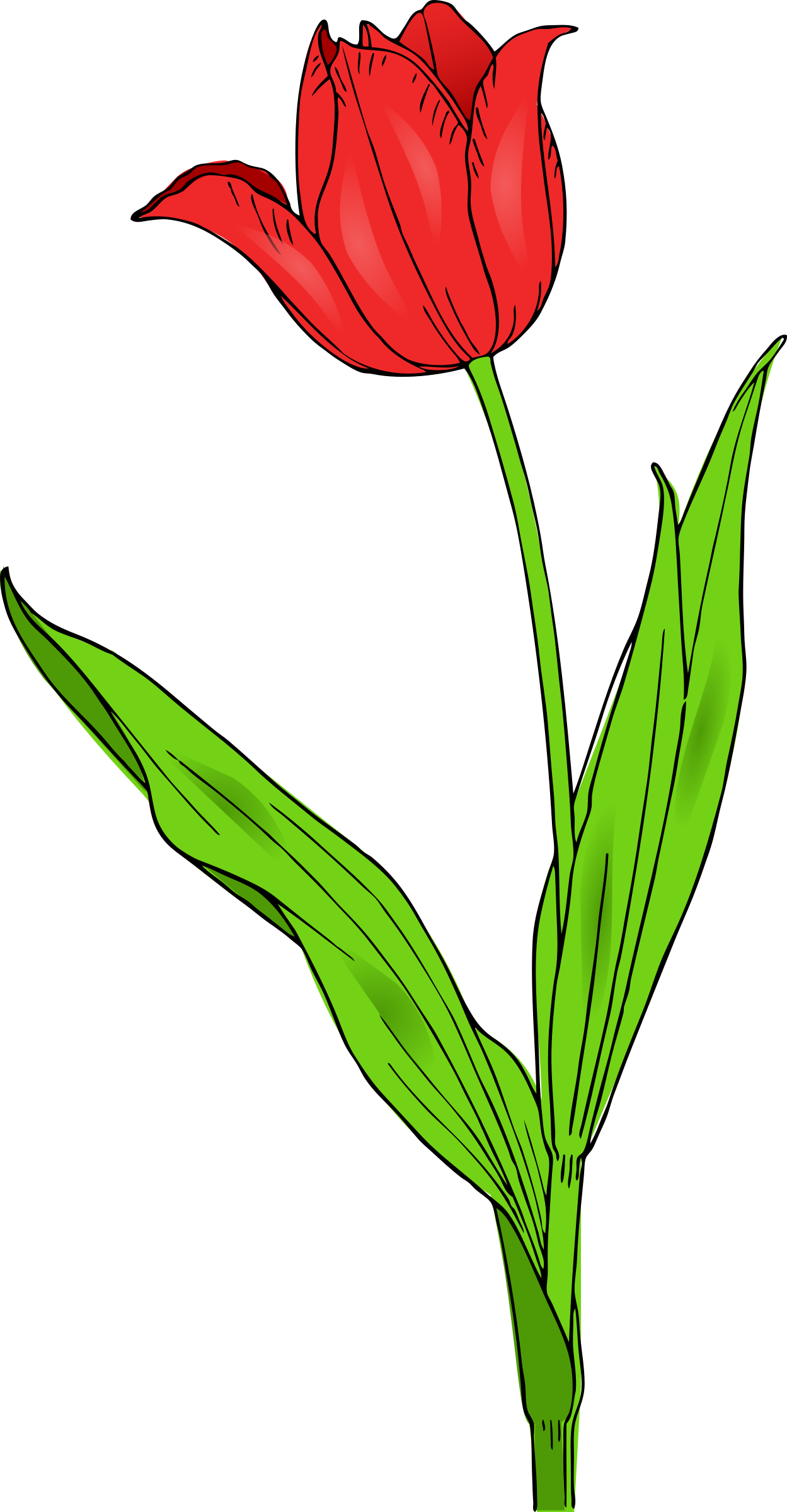 Colored tulip by