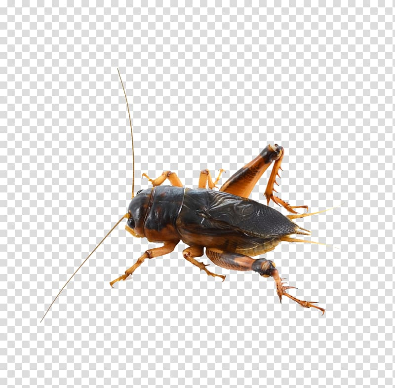 Fly clipart grasshopper. House cricket insect transparent