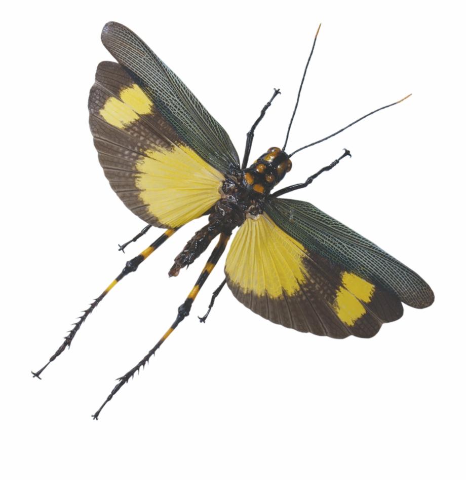 Fly clipart grasshopper. Flight flying free png