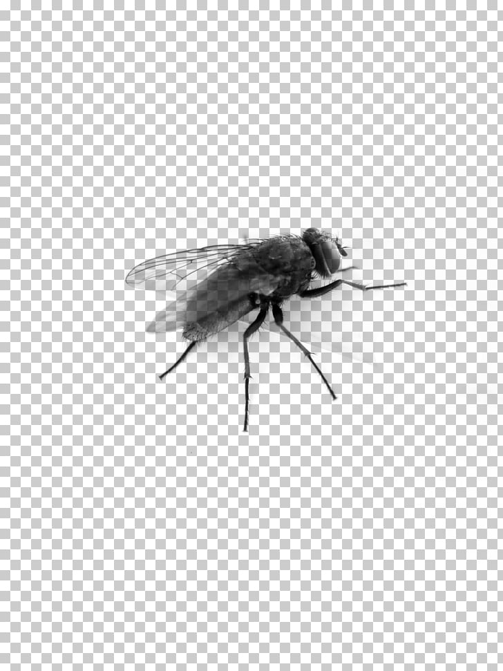 Fly Top Side, black horsefly PNG clipart