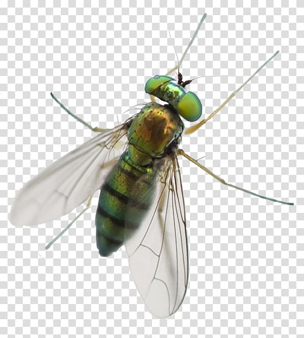 Fly clipart horsefly. Greenhead horse mosquito pest