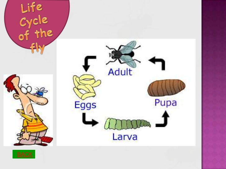 Fly clipart pupa of a. Life cycle the