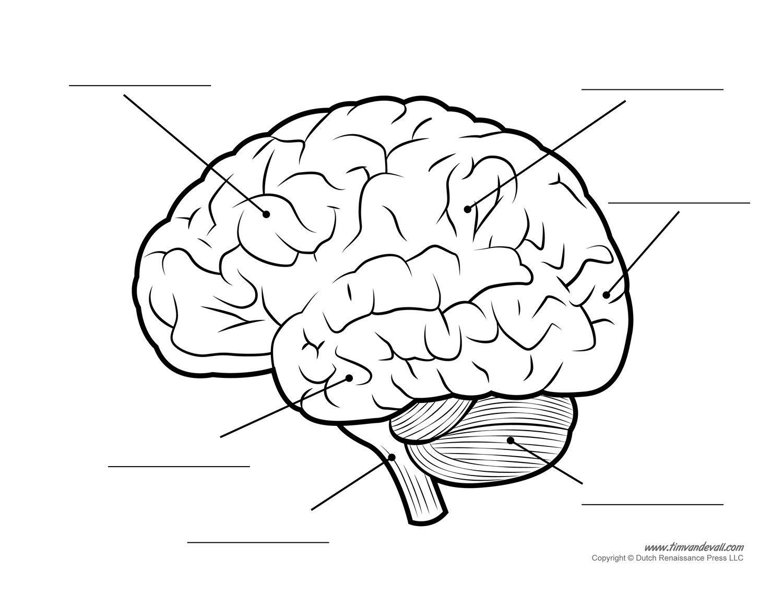 Free brain clipart diagram pictures on Cliparts Pub 2020! 🔝