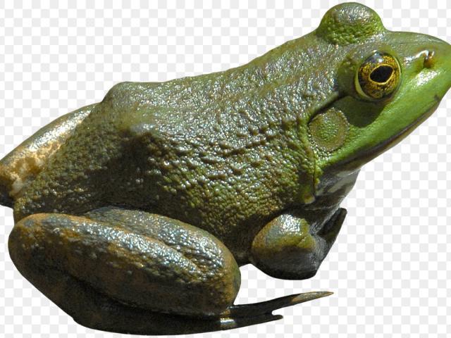 Free tree frog.