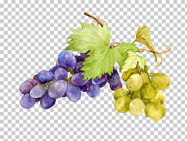 Grape watercolor painting.
