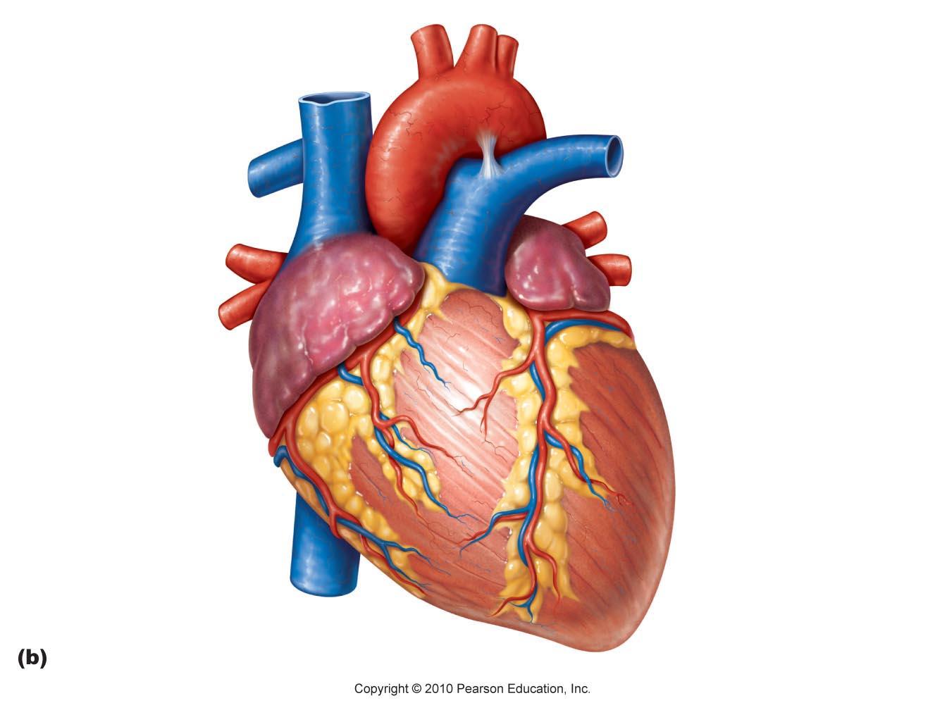 98 human heart.