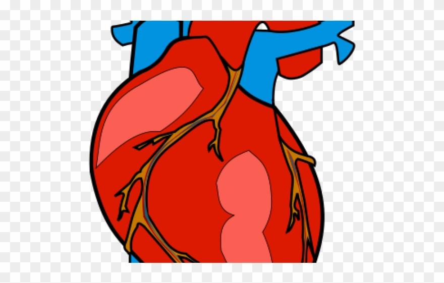 Organs Clipart Biological Heart