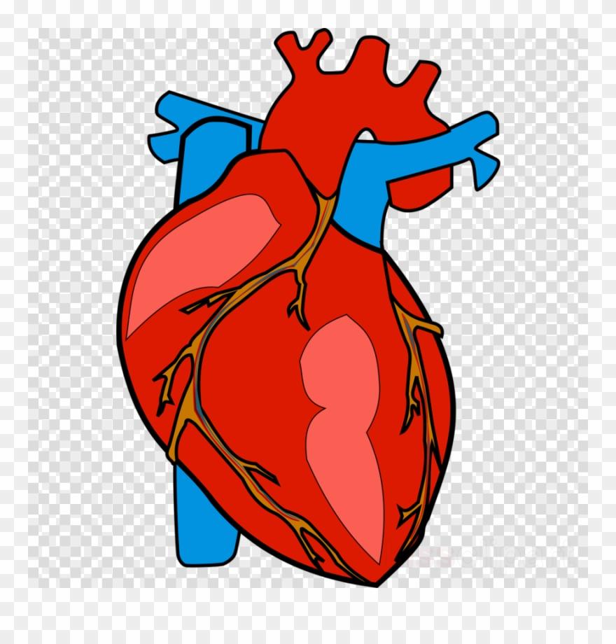 Human Heart Clipart Heart Clip Art