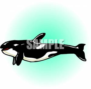 A Swimming Orca Whale