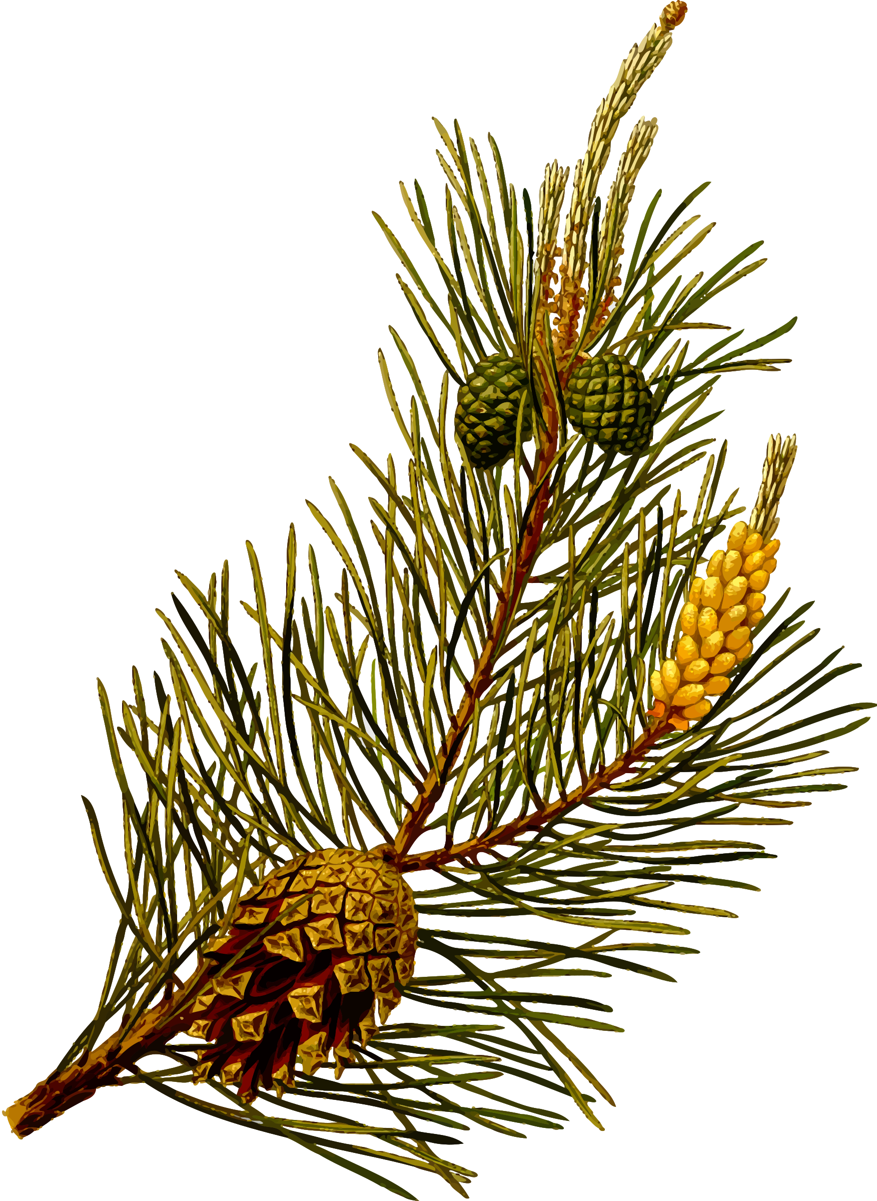Scots pine detailed.