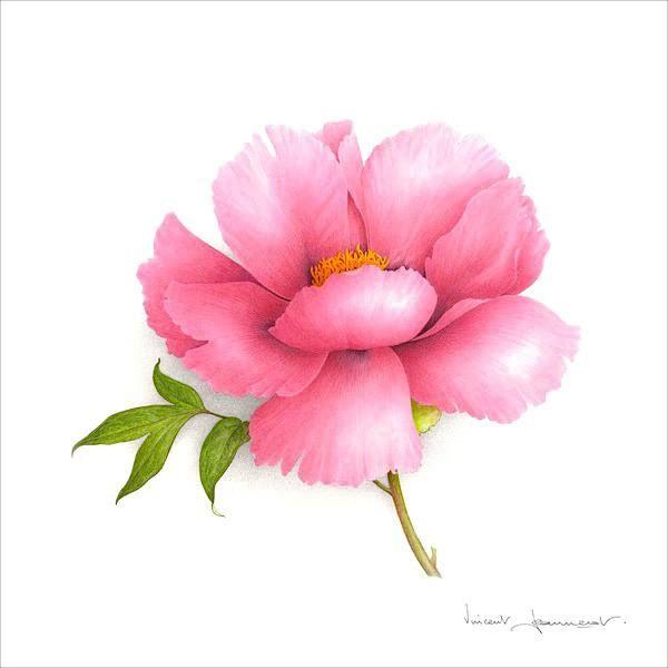 Pink simple peony