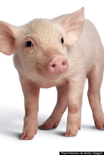 Free pig faces.
