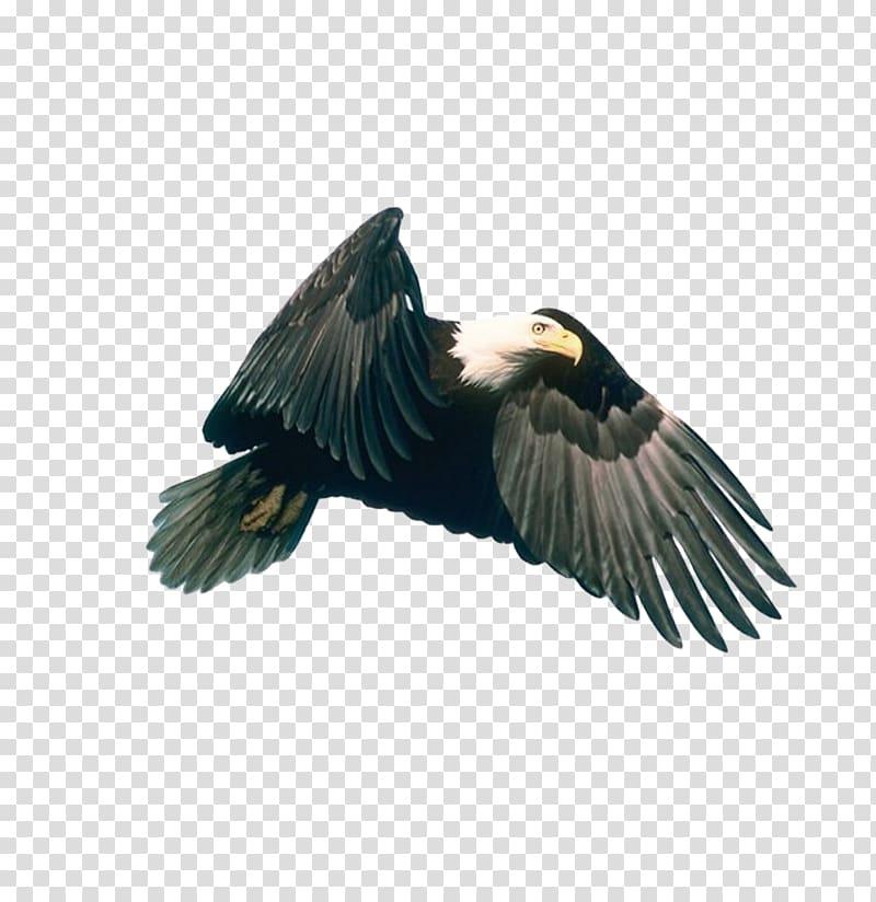 Eagle hawk eagle.
