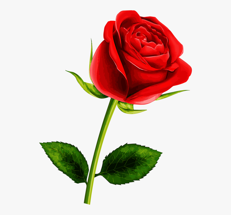Rosa vermelha png.