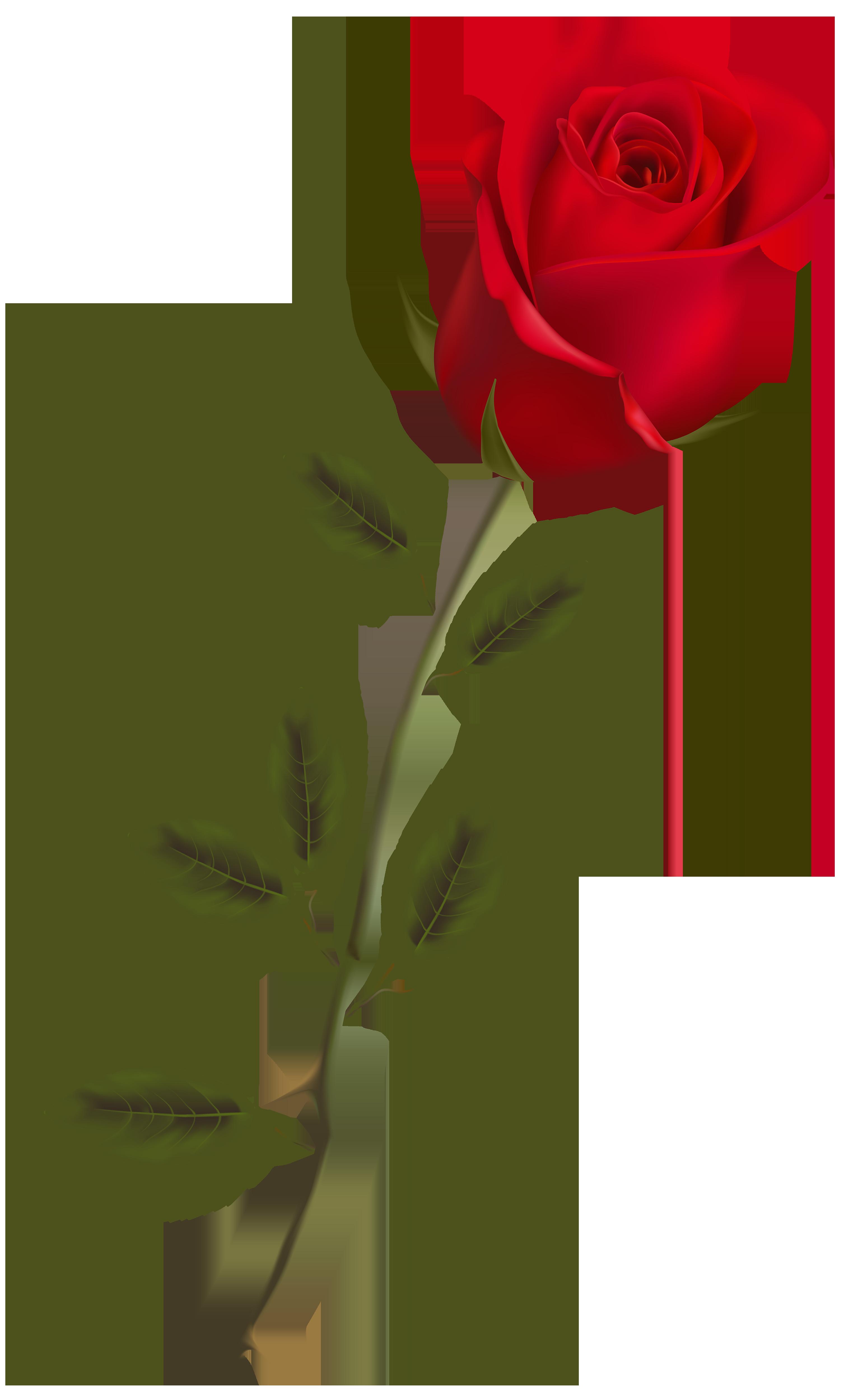 Long stem rose.