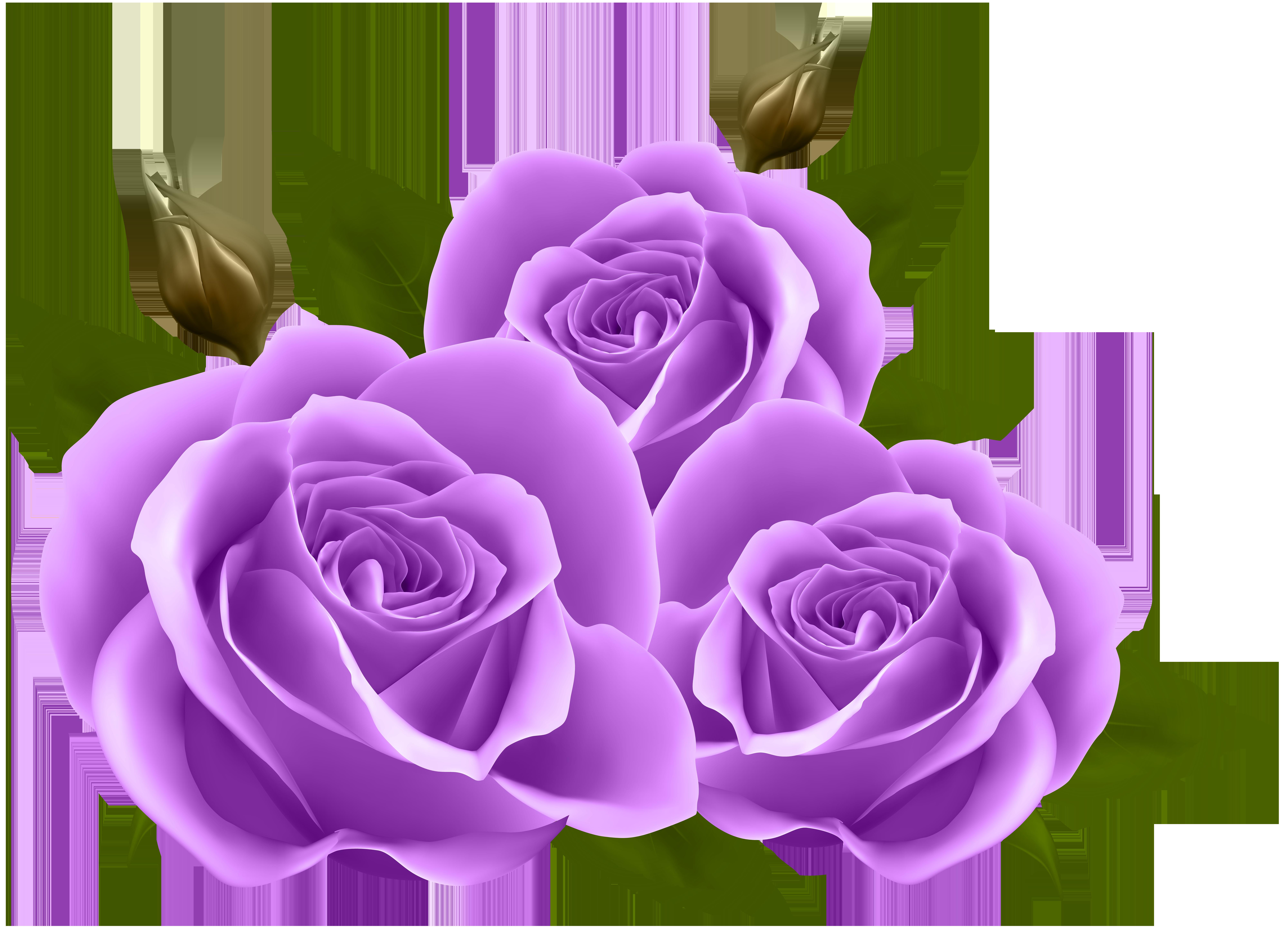Purple roses png.