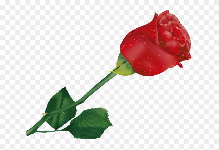 Beautiful single rose.