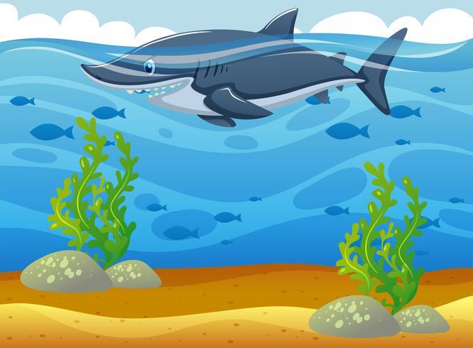 Wild shark swimming.