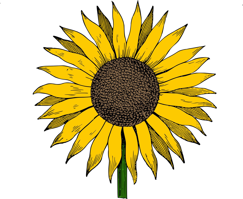 Sunflower clipart photos.