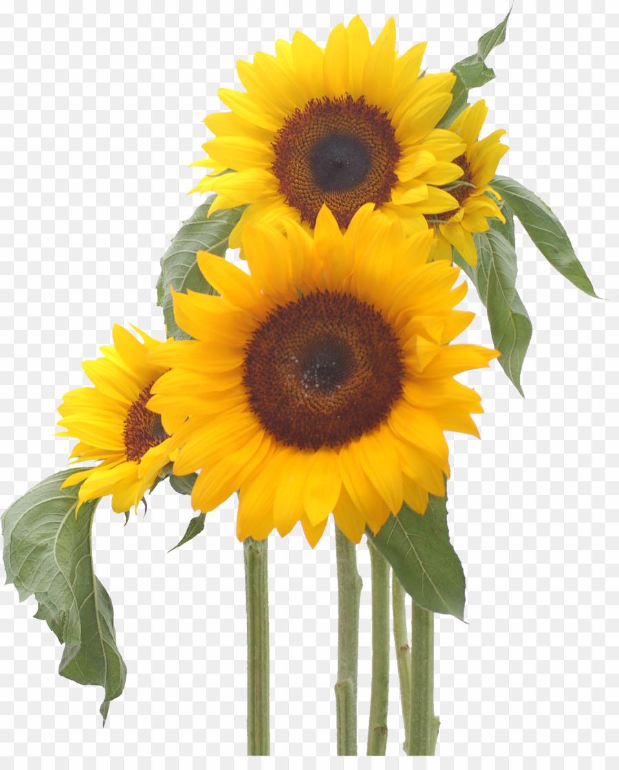 clipart corner sunflower
