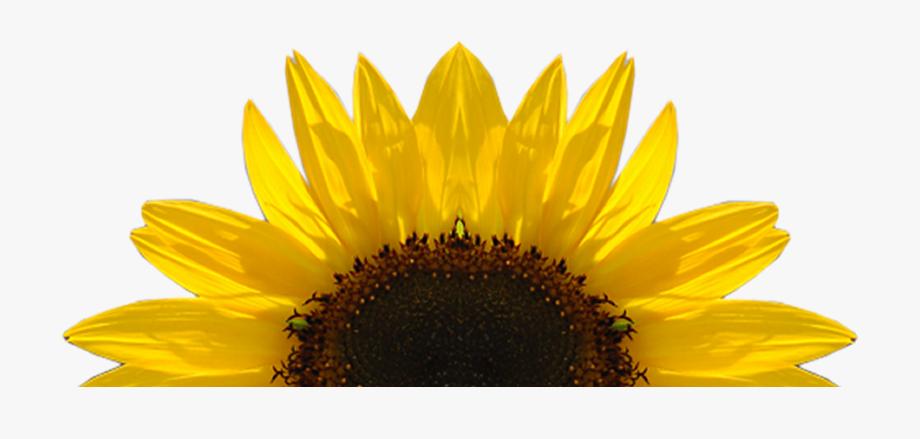 Sunflower free sunflower.