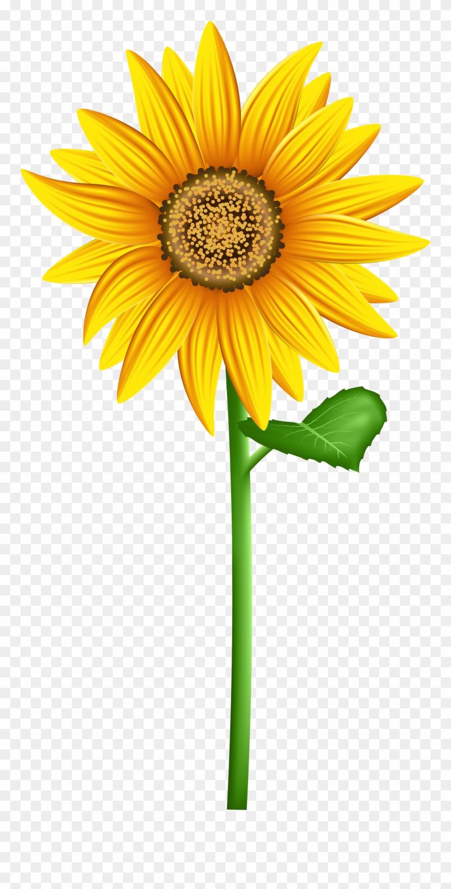 Transparent background sunflower.