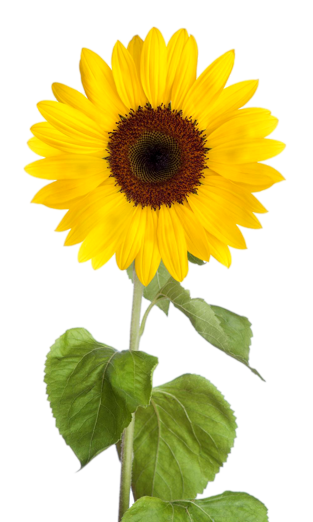 Sunflower clipart transparent background pictures on ...