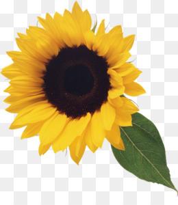 Sunflower png sunflower.
