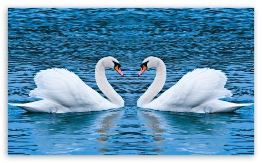 Two swan clipart wallpaper