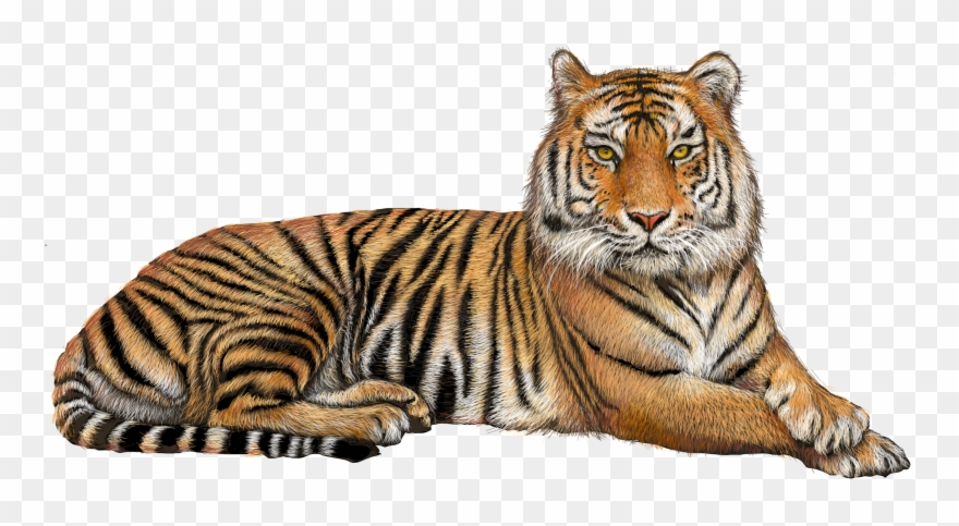 Tiger clipart transparent.