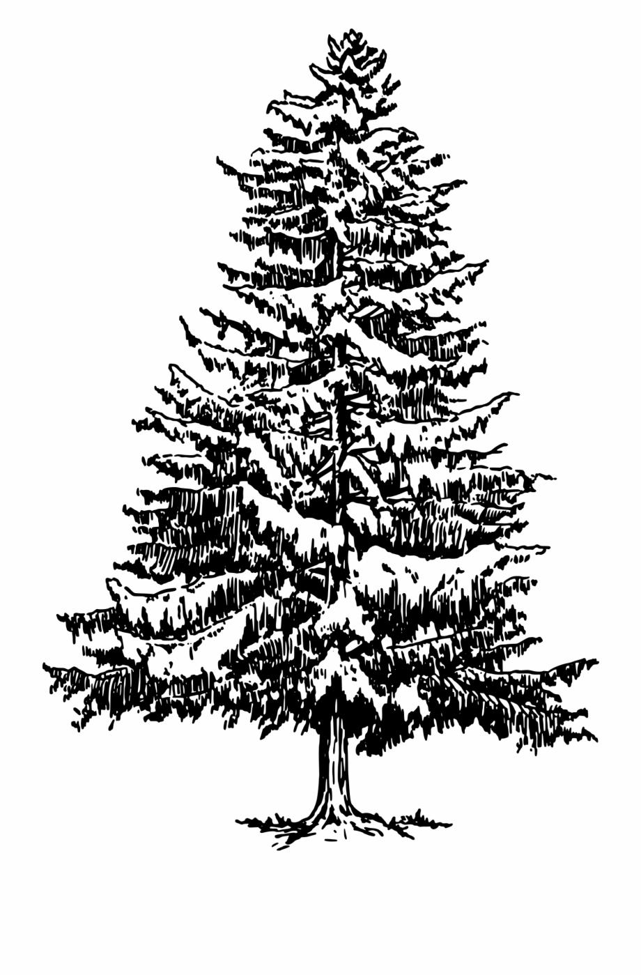 Tree evergreen clip.