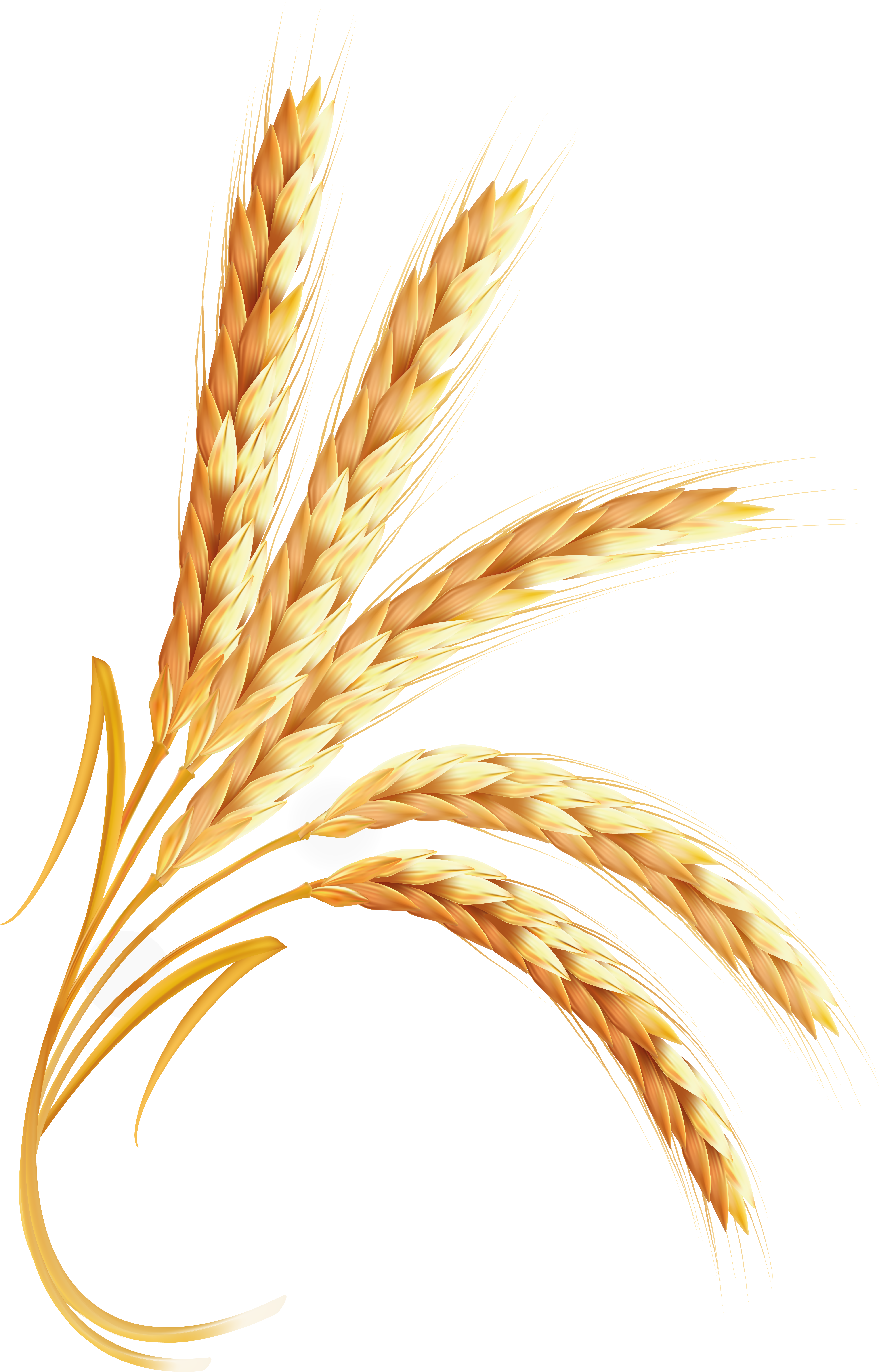Wheat png images.