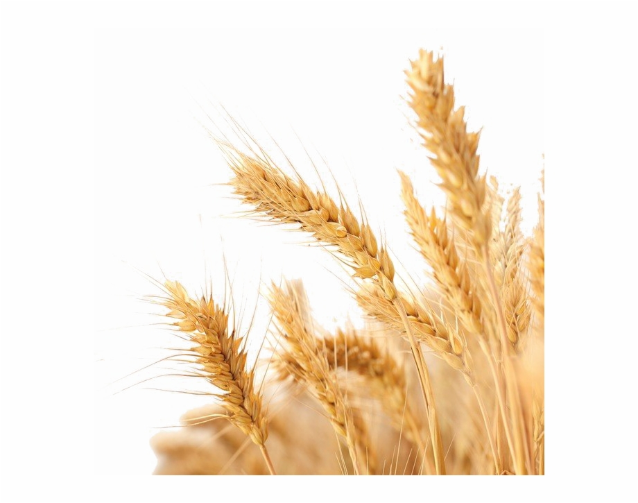 Wheat Png Image Background Transparent Background Wheat Png