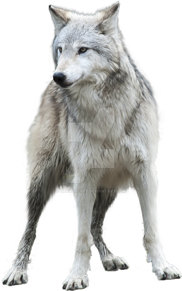 Wolf clipart transparent background pictures on Cliparts ...